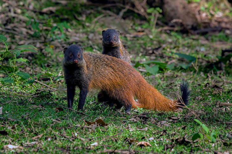 stripe-necked_mongoose_wikimedia_commons-vishwakiran