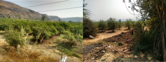 Pomegranate plantations at Hiwargaon (Photo: Amruta Pradhan)