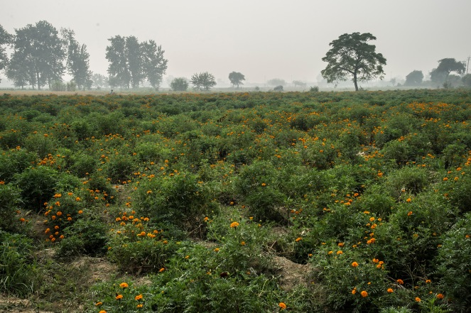 Palla Marigold Field lowres