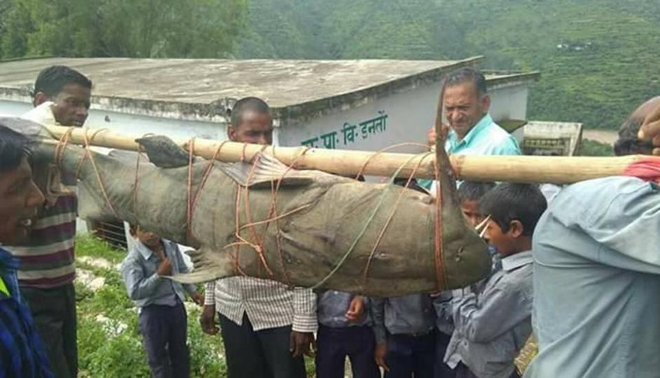 villagers-carrying-devil-catfish-file-pic_1fede1c0-7600-11e7-930d-20ef51ded0a4