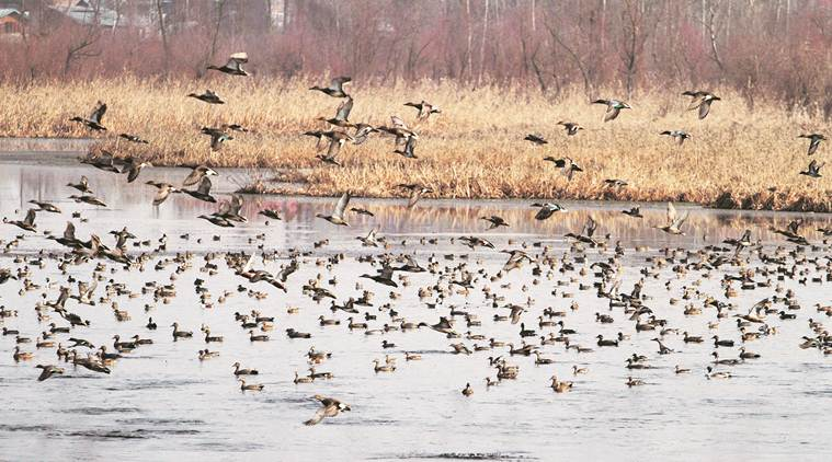 migratory-birds2
