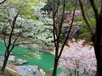 Sakura on the Hozugawa River in Kyoto Photo by Aparna Datar