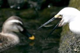 Egret catching Ayu