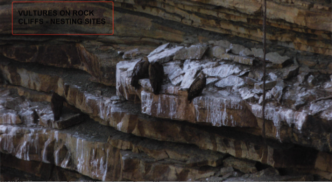 Vultures on Rock Cliff Nesting Sites along Ken River - Source CEC Report
